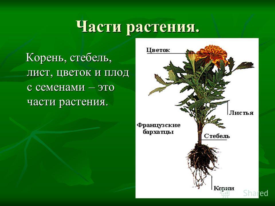 Части растения. Корень, стебель, лист, цветок и плод с семенами – это части растения. Корень, стебель, лист, цветок и плод с семенами – это части растения.
