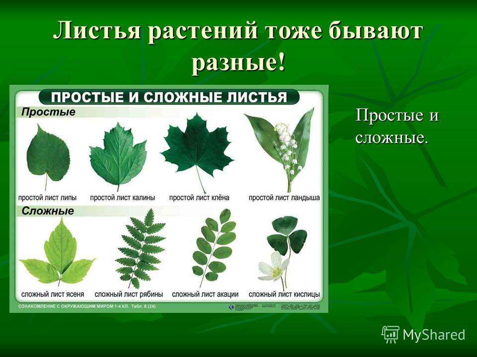 Листья растений тоже бывают разные! Простые и сложные. Простые и сложные.
