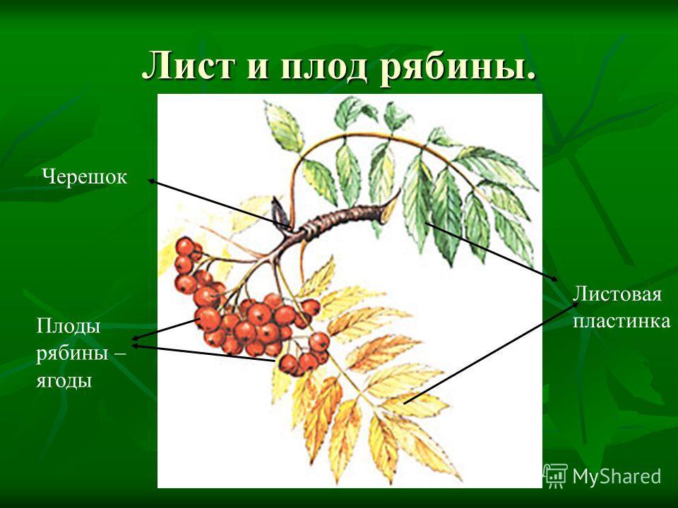 Лист и плод рябины. Листовая пластинка Черешок Плоды рябины – ягоды