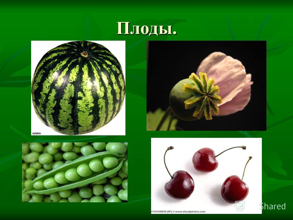 Плоды.