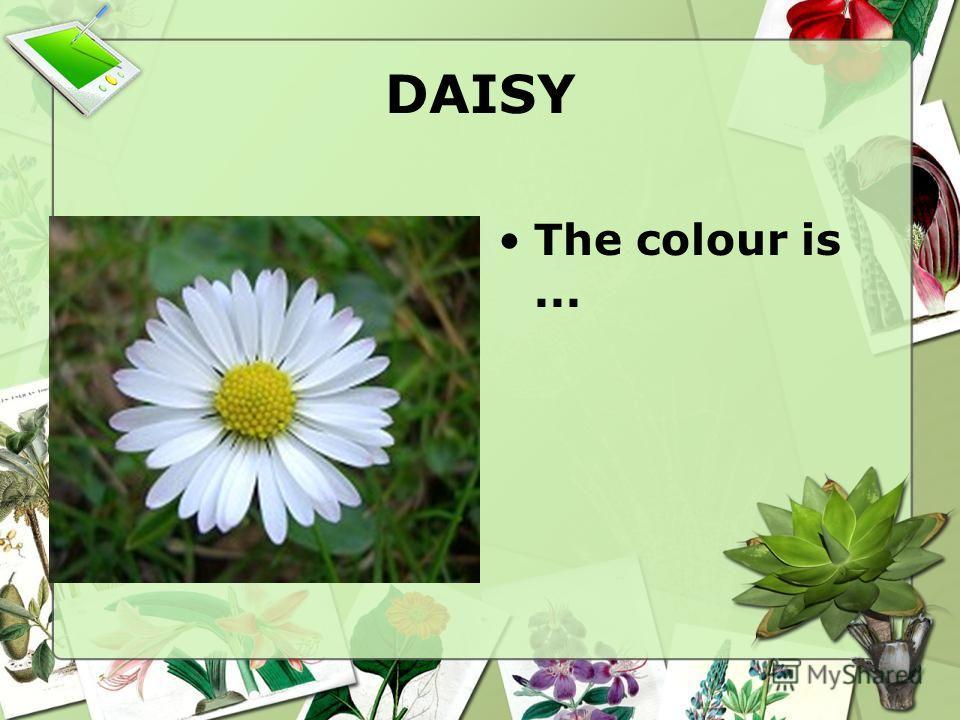 DAISY The colour is...