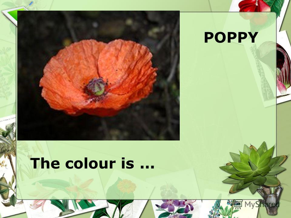 POPPY The colour is...