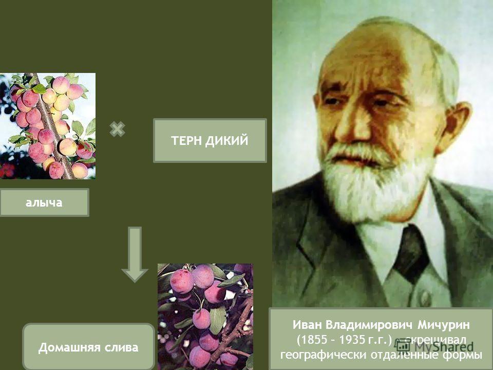Иван Владимирович Мичурин (1855 – 1935 г.г.) – скрещивал географически отдаленные формы алыча ТЕРН ДИКИЙ Домашняя слива