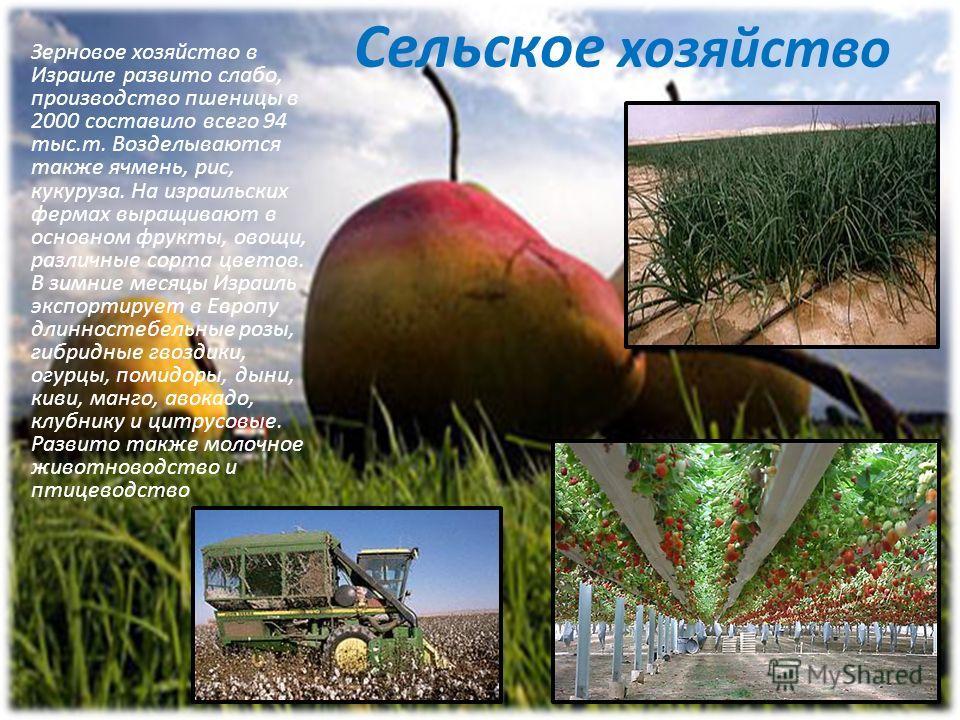 Сельское хозяйство Зерновое хозяйство в Израиле развито слабо, производство пшеницы в 2000 составило всего 94 тыс.т. Возделываются также ячмень, рис, кукуруза. На израильских фермах выращивают в основном фрукты, овощи, различные сорта цветов. В зимни