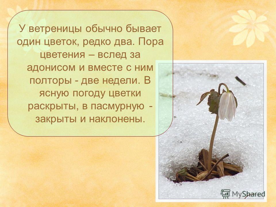У ветреницы обычно бывает один цветок, редко два. Пора цветения – вслед за адонисом и вместе с ним полторы - две недели. В ясную погоду цветки раскрыты, в пасмурную - закрыты и наклонены.