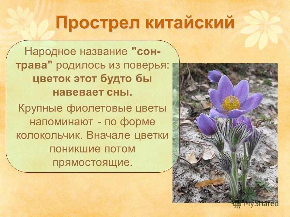 Прострел китайский Народное название сон- трава родилось из поверья: цветок этот будто бы навевает сны. Крупные фиолетовые цветы напоминают - по форме колокольчик. Вначале цветки поникшие потом прямостоящие.