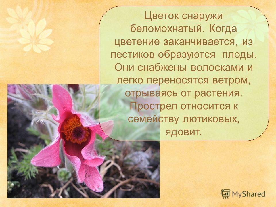 Цветок снаружи беломохнатый. Когда цветение заканчивается, из пестиков образуются плоды. Они снабжены волосками и легко переносятся ветром, отрываясь от растения. Прострел относится к семейству лютиковых, ядовит.