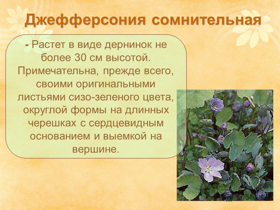 Джефферсония сомнительная - Растет в виде дернинок не более 30 см высотой. Примечательна, прежде всего, своими оригинальными листьями сизо-зеленого цвета, округлой формы на длинных черешках с сердцевидным основанием и выемкой на вершине.