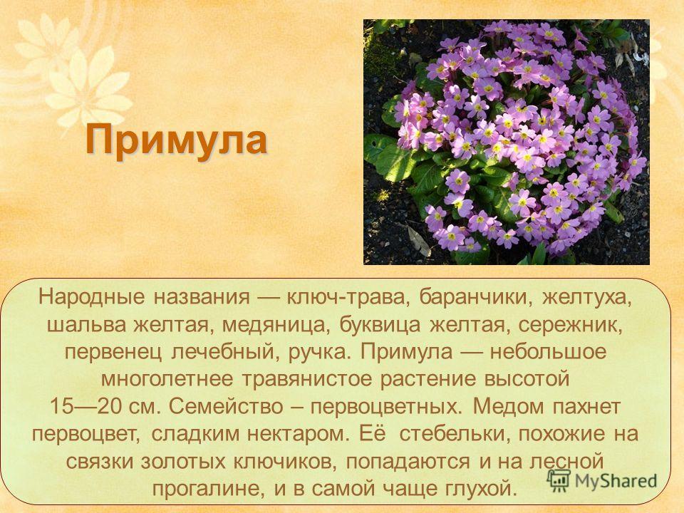 Народные названия ключ-трава, баранчики, желтуха, шальва желтая, медяница, буквица желтая, сережник, первенец лечебный, ручка. Примула небольшое многолетнее травянистое растение высотой 1520 см. Семейство – первоцветных. Медом пахнет первоцвет, сладк
