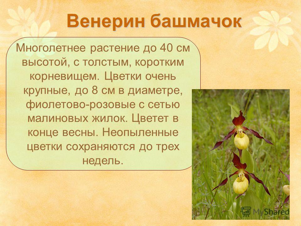 Венерин башмачок Многолетнее растение до 40 см высотой, с толстым, коротким корневищем. Цветки очень крупные, до 8 см в диаметре, фиолетово-розовые c сетью малиновых жилок. Цветет в конце весны. Неопыленные цветки сохраняются до трех недель.