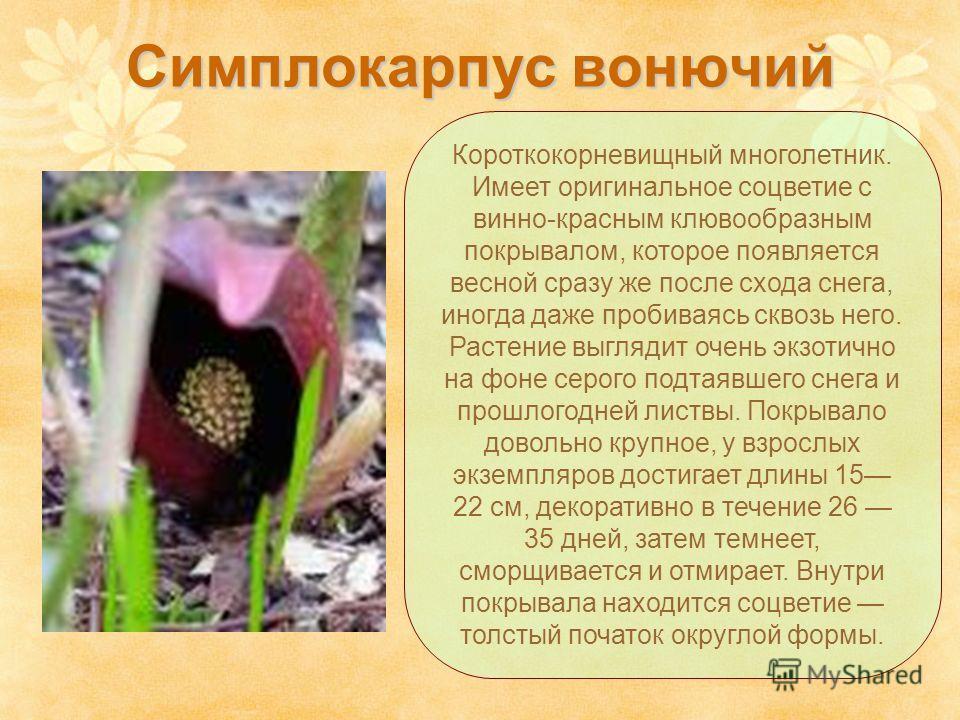 Симплокарпус вонючий Короткокорневищный многолетник. Имеет оригинальное соцветие с винно-красным клювообразным покрывалом, которое появляется весной сразу же после схода снега, иногда даже пробиваясь сквозь него. Растение выглядит очень экзотично на