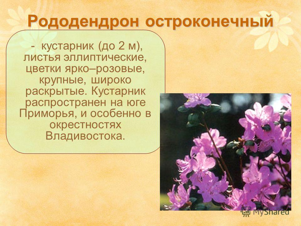 Рододендрон остроконечный - кустарник (до 2 м), листья эллиптические, цветки ярко–розовые, крупные, широко раскрытые. Кустарник распространен на юге Приморья, и особенно в окрестностях Владивостока.