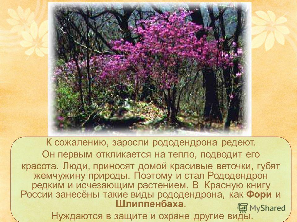 К сожалению, заросли рододендрона редеют. Он первым откликается на тепло, подводит его красота. Люди, приносят домой красивые веточки, губят жемчужину природы. Поэтому и стал Рододендрон редким и исчезающим растением. В Красную книгу России занесёны