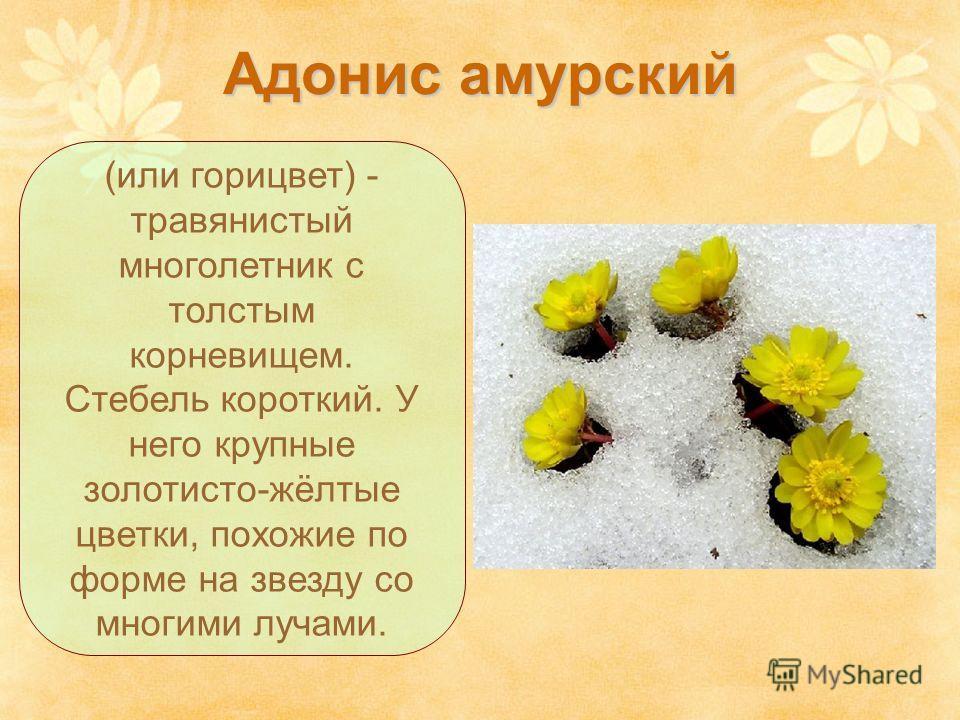 Адонис амурский (или горицвет) - травянистый многолетник с толстым корневищем. Стебель короткий. У него крупные золотисто-жёлтые цветки, похожие по форме на звезду со многими лучами.