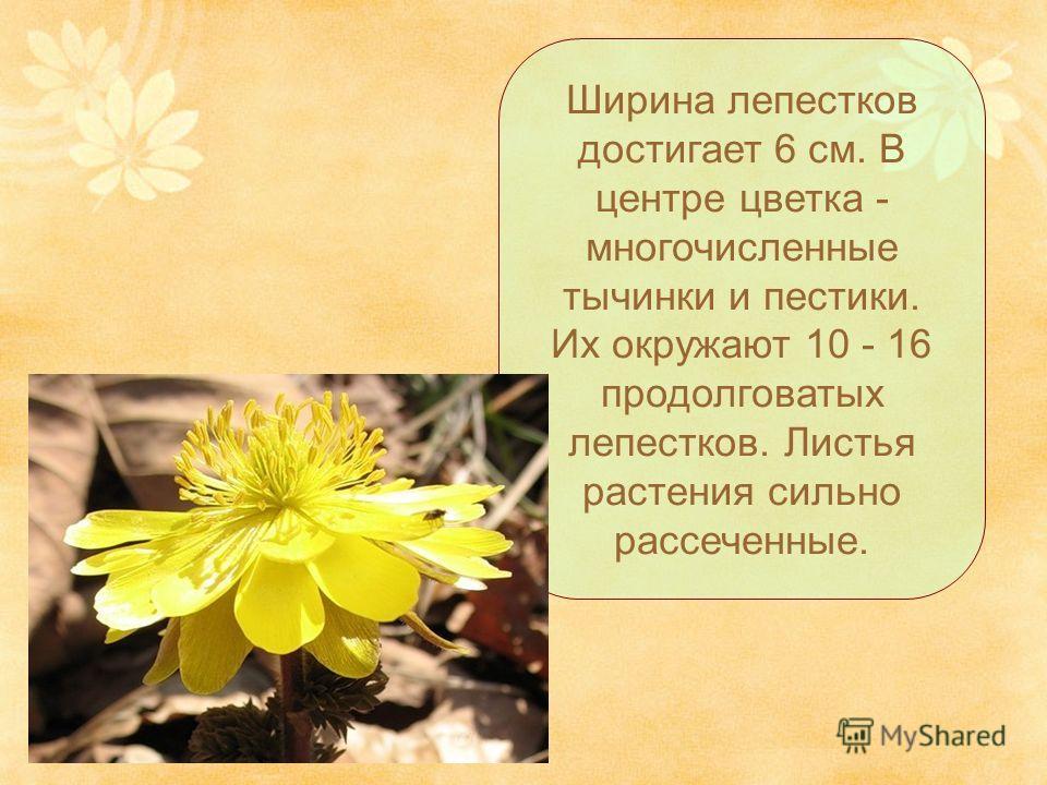 Ширина лепестков достигает 6 см. В центре цветка - многочисленные тычинки и пестики. Их окружают 10 - 16 продолговатых лепестков. Листья растения сильно рассеченные.