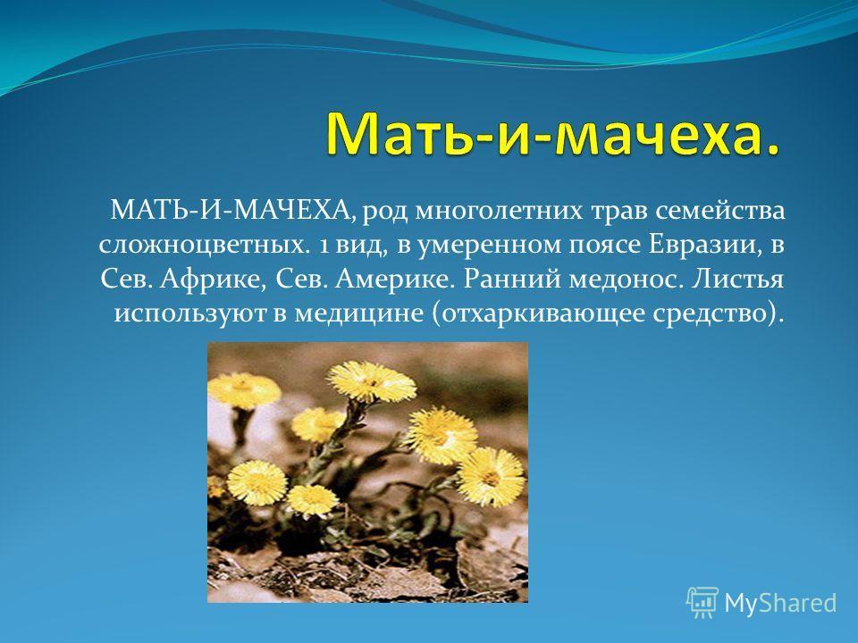 МАТЬ-И-МАЧЕХА, род многолетних трав семейства сложноцветных. 1 вид, в умеренном поясе Евразии, в Сев. Африке, Сев. Америке. Ранний медонос. Листья используют в медицине (отхаркивающее средство).