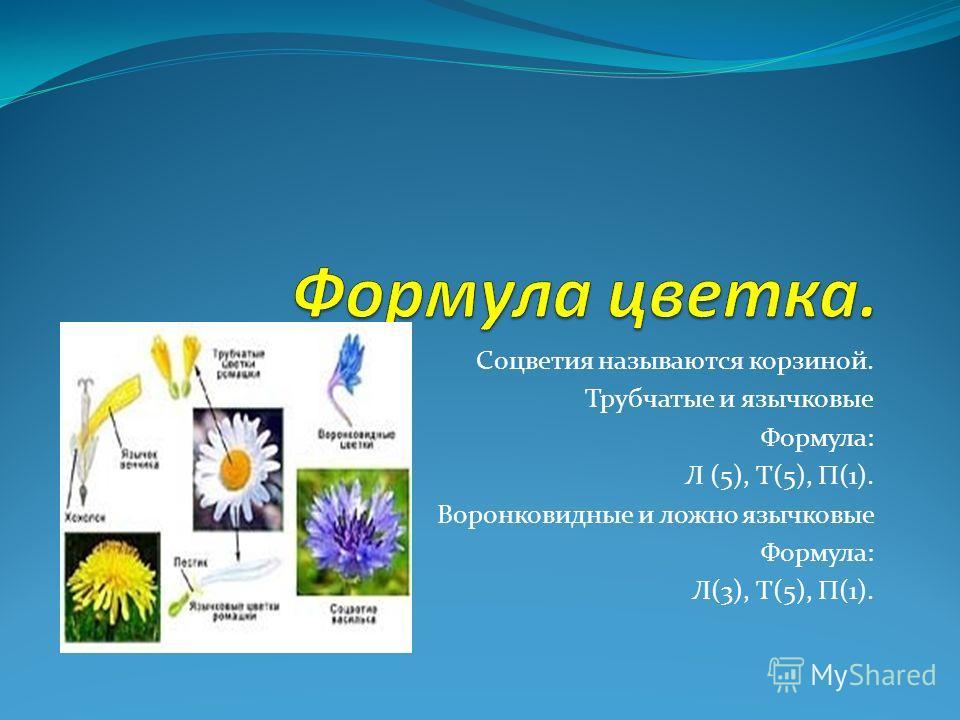Соцветия называются корзиной. Трубчатые и язычковые Формула: Л (5), Т(5), П(1). Воронковидные и ложно язычковые Формула: Л(3), Т(5), П(1).