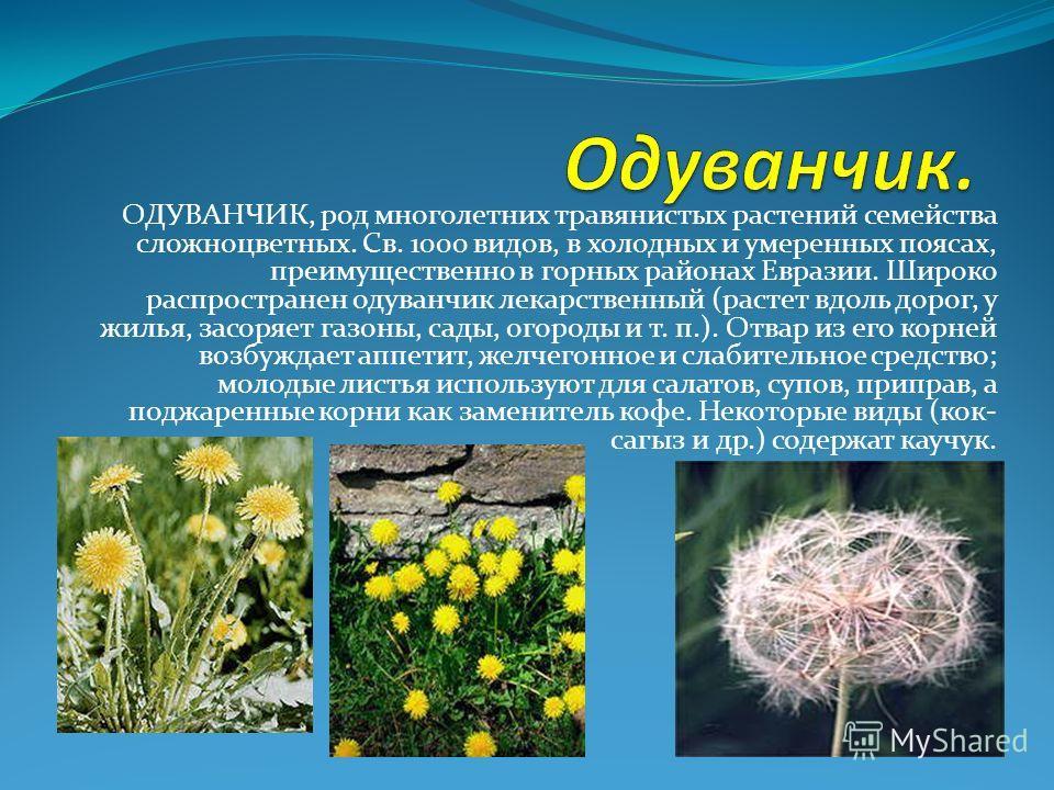 ОДУВАНЧИК, род многолетних травянистых растений семейства сложноцветных. Св. 1000 видов, в холодных и умеренных поясах, преимущественно в горных районах Евразии. Широко распространен одуванчик лекарственный (растет вдоль дорог, у жилья, засоряет газо