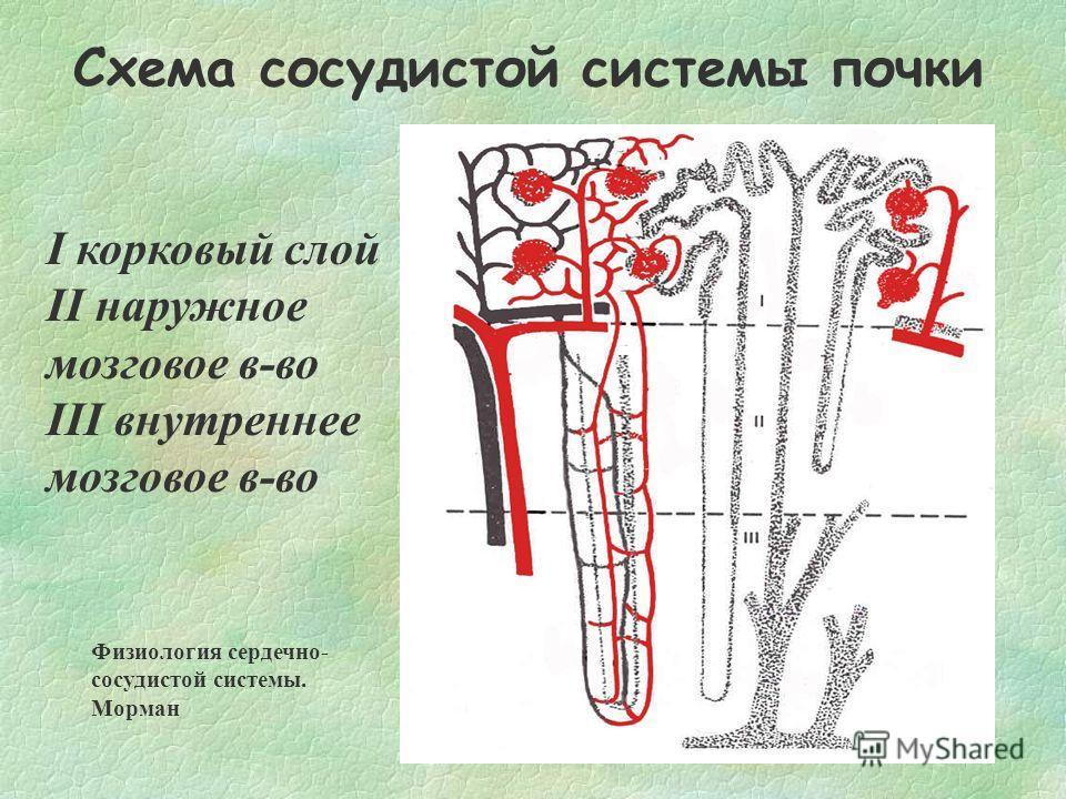 Схема сосудистой системы почки I корковый слой II наружное мозговое в-во III внутреннее мозговое в-во Физиология сердечно- сосудистой системы. Морман
