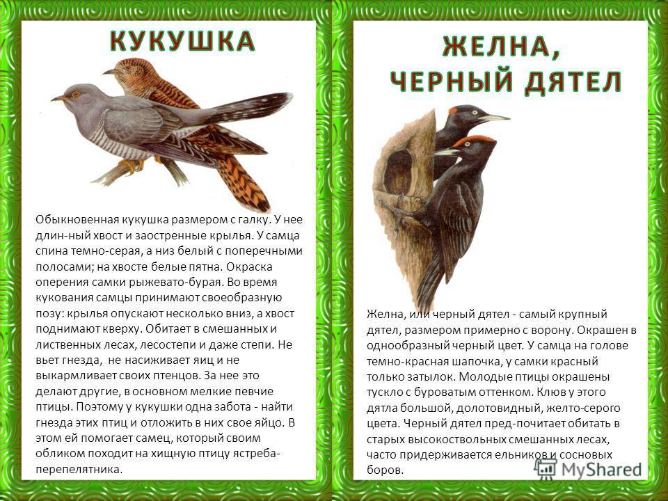 Желна, или черный дятел - самый крупный дятел, размером примерно с ворону. Окрашен в однообразный черный цвет. У самца на голове темно-красная шапочка, у самки красный только затылок. Молодые птицы окрашены тускло с буроватым оттенком. Клюв у этого д