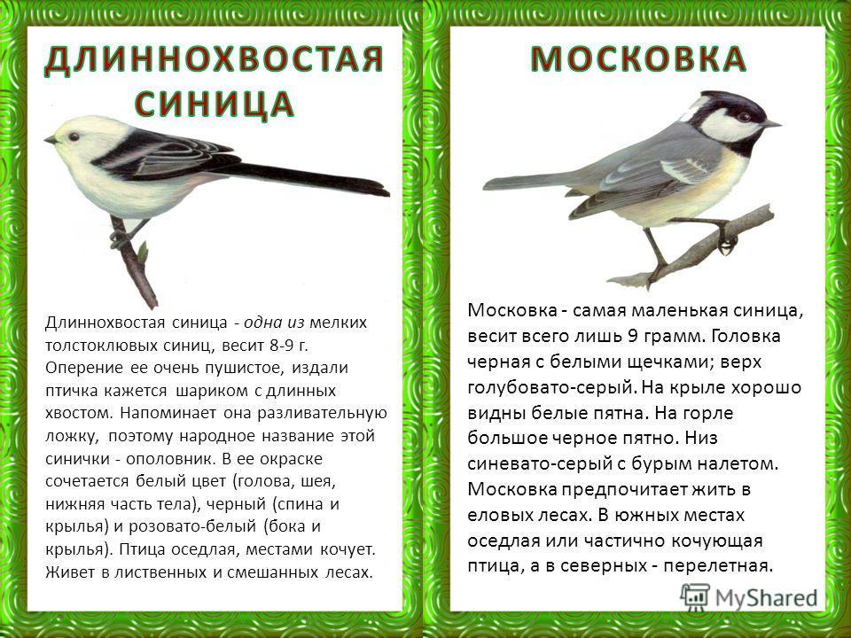 Московка - самая маленькая синица, весит всего лишь 9 грамм. Головка черная с белыми щечками; верх голубовато-серый. На крыле хорошо видны белые пятна. На горле большое черное пятно. Низ синевато-серый с бурым налетом. Московка предпочитает жить в ел
