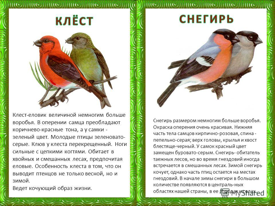 Клест-еловик величиной немногим больше воробья. В оперении самца преобладают коричнево-красные тона, а у самки - зеленый цвет. Молодые птицы зеленовато- серые. Клюв у клеста перекрещенный. Ноги сильные с цепкими когтями. Обитает в хвойных и смешанных