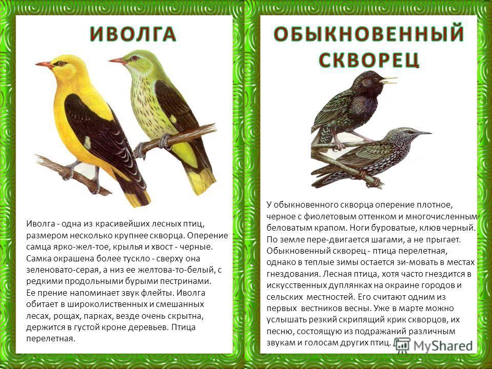 Иволга - одна из красивейших лесных птиц, размером несколько крупнее скворца. Оперение самца ярко-жел-тое, крылья и хвост - черные. Самка окрашена более тускло - сверху она зеленовато-серая, а низ ее желтова-то-белый, с редкими продольными бурыми пес