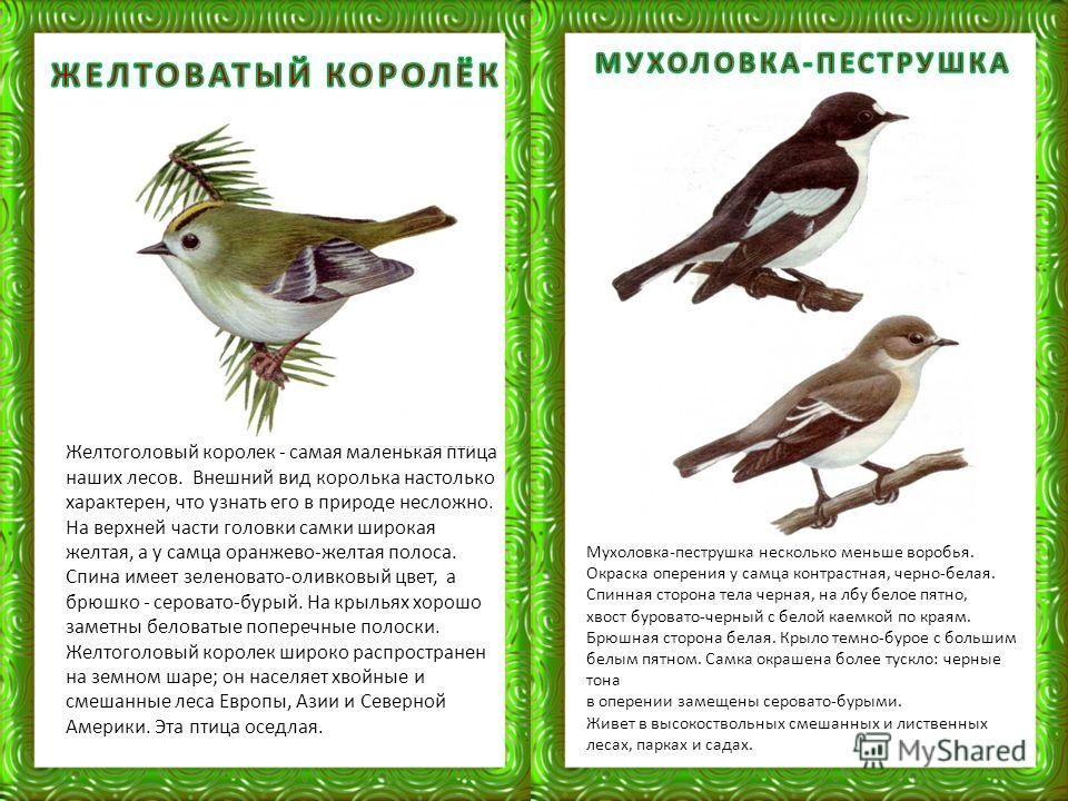 Желтоголовый королек - самая маленькая птица наших лесов. Внешний вид королька настолько характерен, что узнать его в природе несложно. На верхней части головки самки широкая желтая, а у самца оранжево-желтая полоса. Спина имеет зеленовато-оливковый