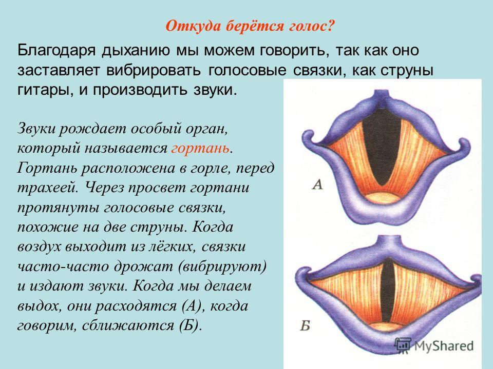 Звуки рождает особый орган, который называется гортань. Гортань расположена в горле, перед трахеей. Через просвет гортани протянуты голосовые связки, похожие на две струны. Когда воздух выходит из лёгких, связки часто-часто дрожат (вибрируют) и издаю