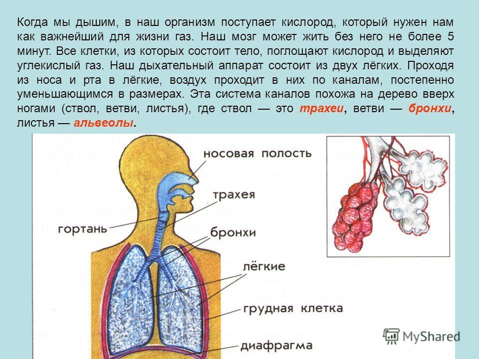 Когда мы дышим, в наш организм поступает кислород, который нужен нам как важнейший для жизни газ. Наш мозг может жить без него не более 5 минут. Все клетки, из которых состоит тело, поглощают кислород и выделяют углекислый газ. Наш дыхательный аппара