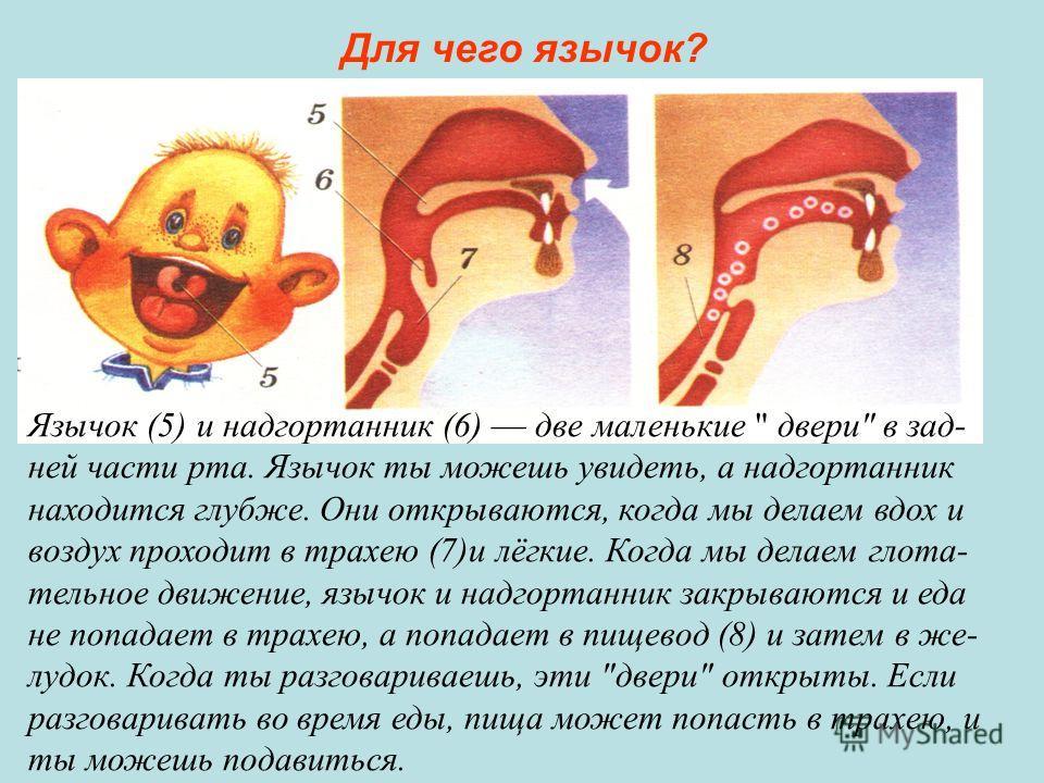 Язычок (5) и надгортанник (6) две маленькие