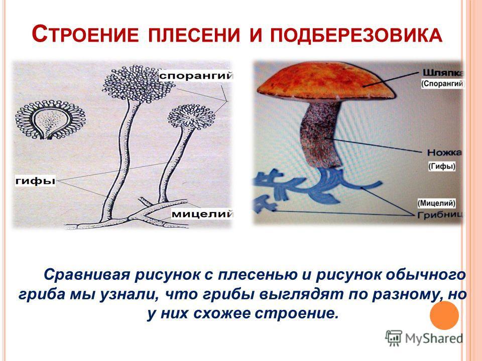 С ТРОЕНИЕ ПЛЕСЕНИ И ПОДБЕРЕЗОВИКА Сравнивая рисунок с плесенью и рисунок обычного гриба мы узнали, что грибы выглядят по разному, но у них схожее строение.