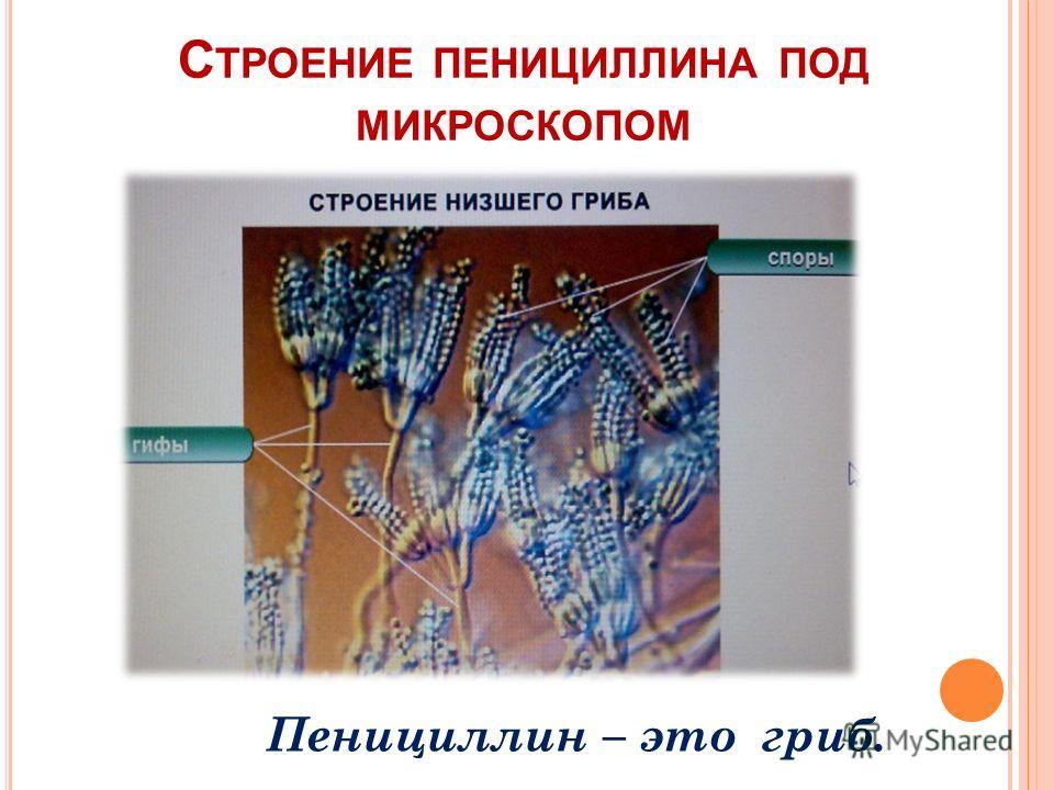 С ТРОЕНИЕ ПЕНИЦИЛЛИНА ПОД МИКРОСКОПОМ Пенициллин – это гриб.