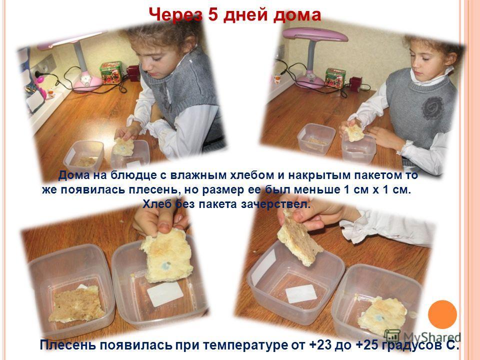 Дома на блюдце с влажным хлебом и накрытым пакетом то же появилась плесень, но размер ее был меньше 1 см х 1 см. Хлеб без пакета зачерствел. Плесень появилась при температуре от +23 до +25 градусов С. Через 5 дней дома