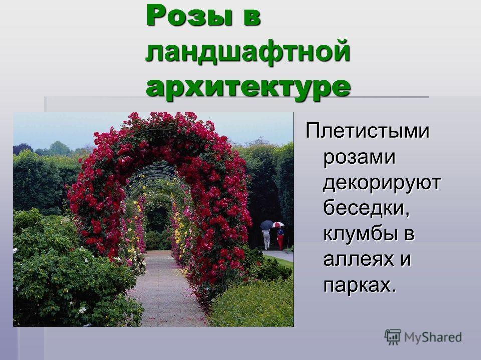 Розы в ландшафтной архитектуре Плетистыми розами декорируют беседки, клумбы в аллеях и парках.