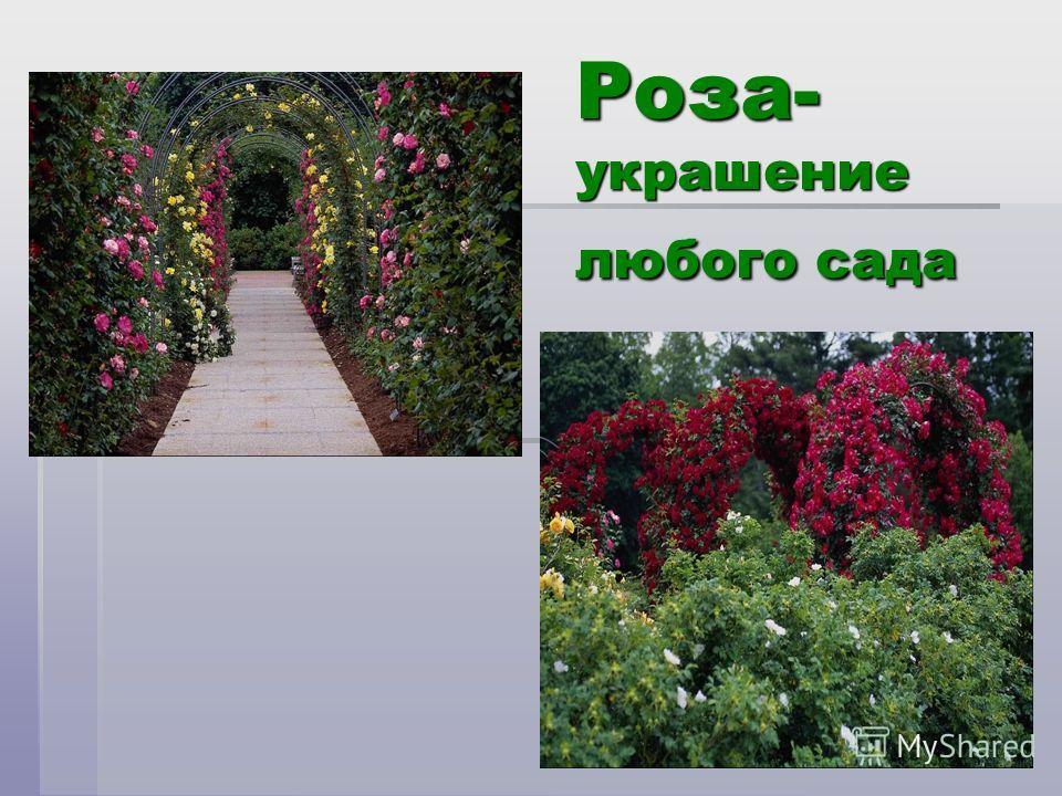 Роза- украшение любого сада