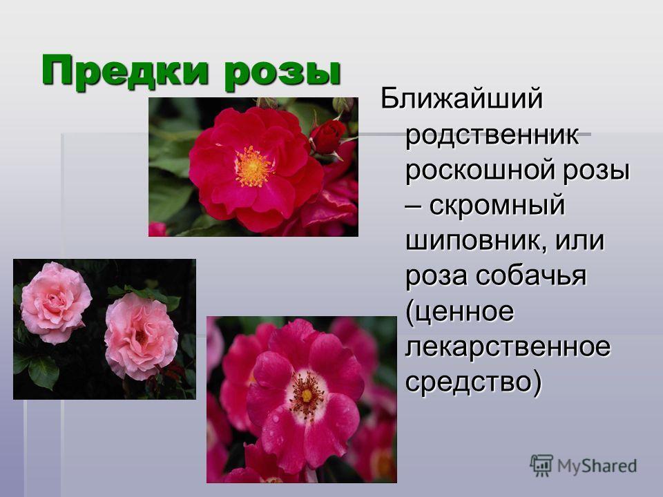 Предки розы Ближайший родственник роскошной розы – скромный шиповник, или роза собачья (ценное лекарственное средство)