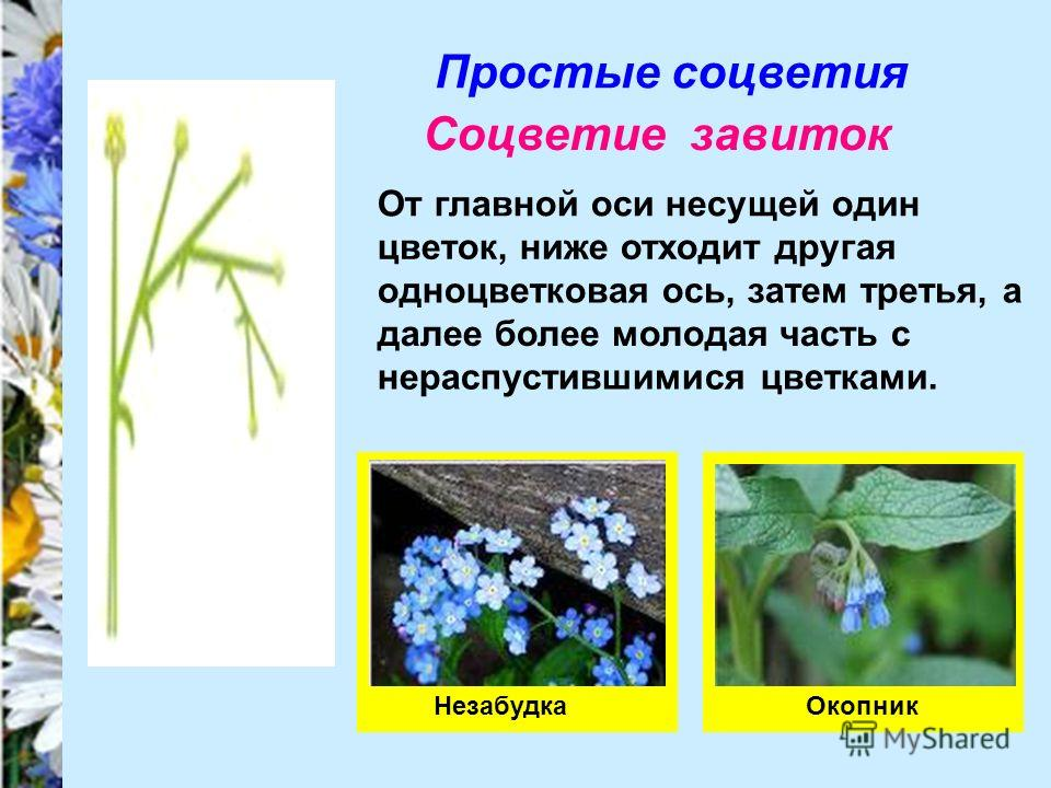 Простые соцветия Соцветие завиток От главной оси несущей один цветок, ниже отходит другая одноцветковая ось, затем третья, а далее более молодая часть с нераспустившимися цветками. НезабудкаОкопник