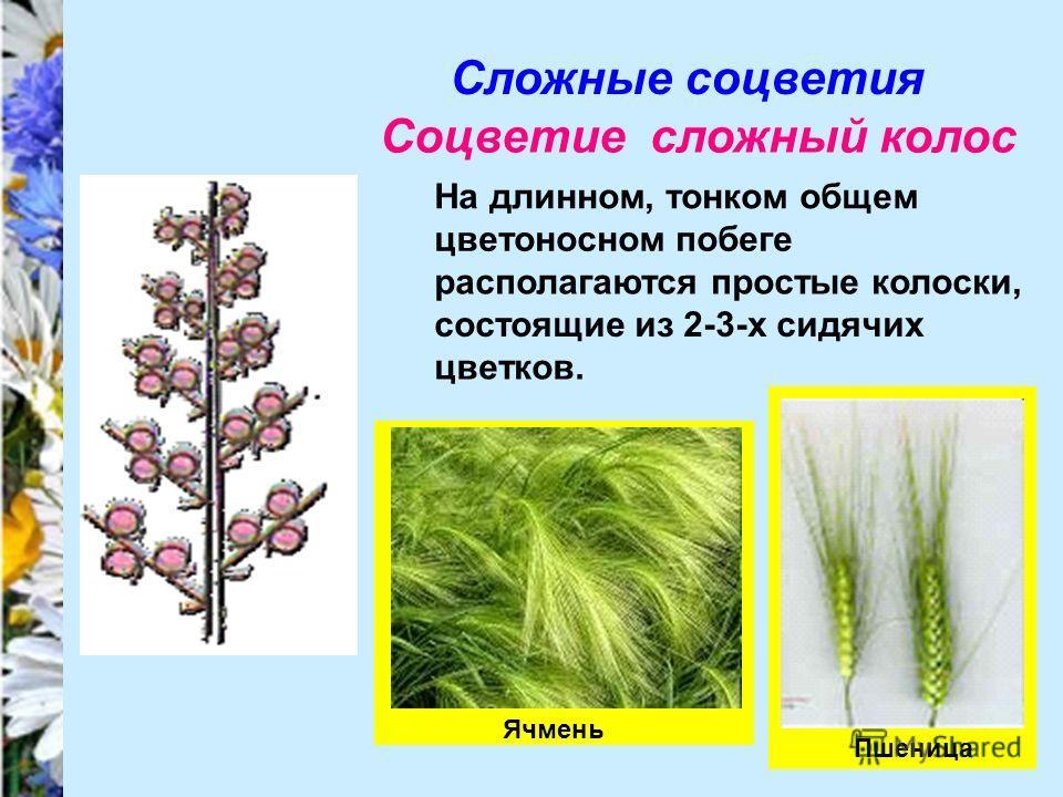Сложные соцветия Соцветие сложный колос На длинном, тонком общем цветоносном побеге располагаются простые колоски, состоящие из 2-3-х сидячих цветков. Пшеница Ячмень