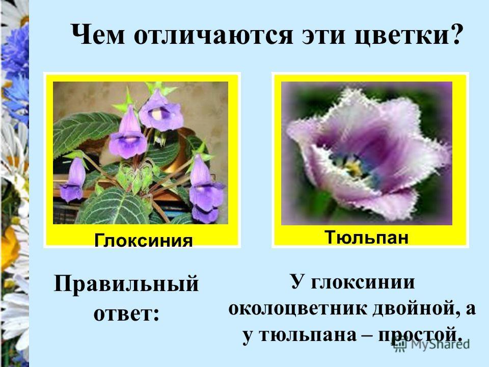 Чем отличаются эти цветки? Глоксиния Тюльпан Правильный ответ: У глоксинии околоцветник двойной, а у тюльпана – простой.