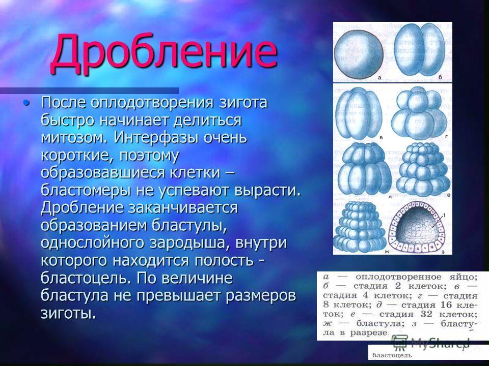Дробление После оплодотворения зигота быстро начинает делиться митозом. Интерфазы очень короткие, поэтому образовавшиеся клетки – бластомеры не успевают вырасти. Дробление заканчивается образованием бластулы, однослойного зародыша, внутри которого на