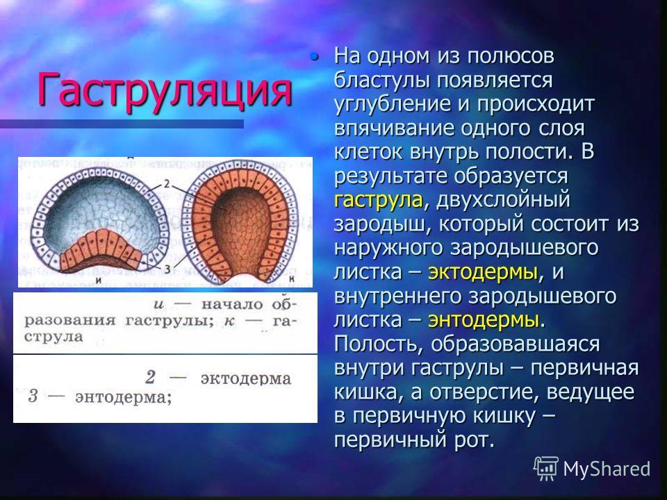 Гаструляция На одном из полюсов бластулы появляется углубление и происходит впячивание одного слоя клеток внутрь полости. В результате образуется гаструла, двухслойный зародыш, который состоит из наружного зародышевого листка – эктодермы, и внутренне