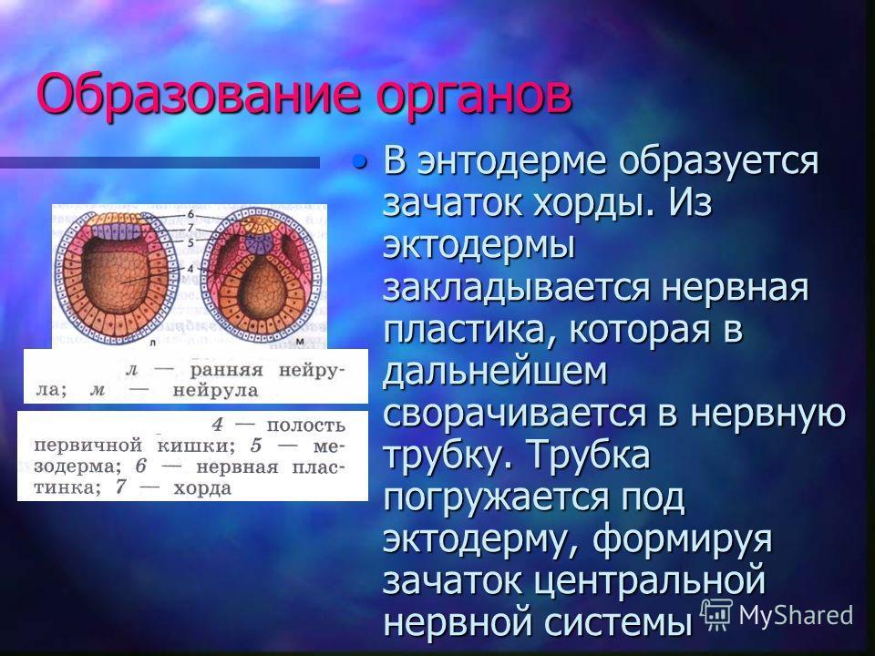 Образование органов В энтодерме образуется зачаток хорды. Из эктодермы закладывается нервная пластика, которая в дальнейшем сворачивается в нервную трубку. Трубка погружается под эктодерму, формируя зачаток центральной нервной системыВ энтодерме обра