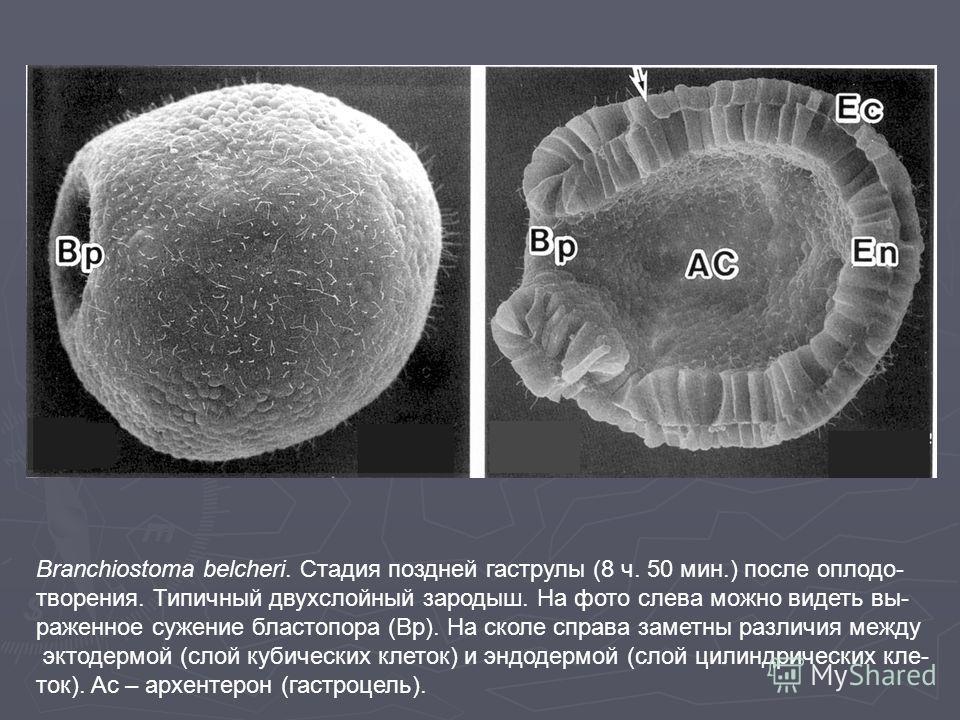 Branchiostoma belcheri. Стадия поздней гаструлы (8 ч. 50 мин.) после оплодо- творения. Типичный двухслойный зародыш. На фото слева можно видеть вы- раженное сужение бластопора (Bp). На сколе справа заметны различия между эктодермой (слой кубических к