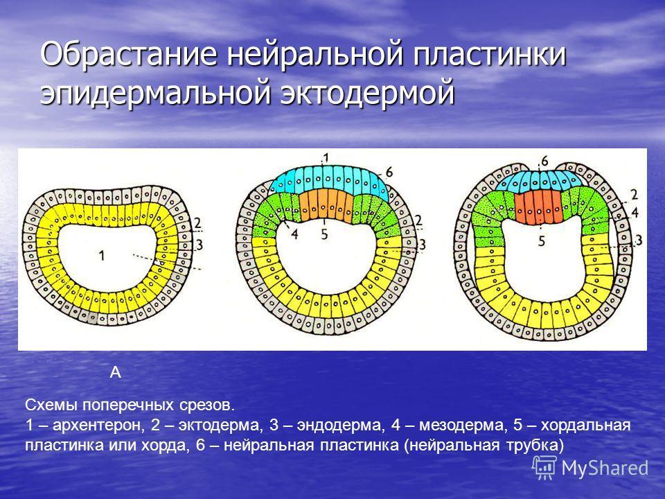 Обрастание нейральной пластинки эпидермальной эктодермой Схемы поперечных срезов. 1 – архентерон, 2 – эктодерма, 3 – эндодерма, 4 – мезодерма, 5 – хордальная пластинка или хорда, 6 – нейральная пластинка (нейральная трубка) А