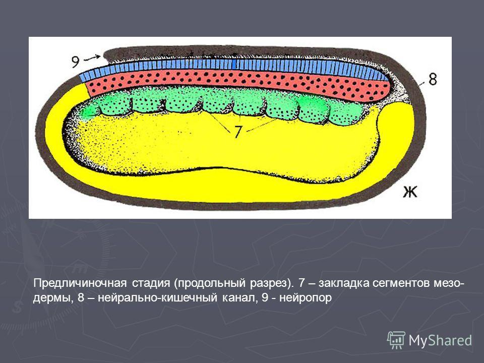 Предличиночная стадия (продольный разрез). 7 – закладка сегментов мезо- дермы, 8 – нейрально-кишечный канал, 9 - нейропор