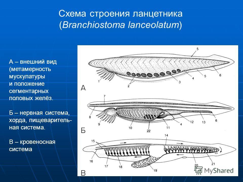 Схема строения ланцетника (Branchiostoma lanceolatum) А – внешний вид (метамерность мускулатуры и положение сегментарных половых желёз. Б – нервная система, хорда, пищеваритель- ная система. В – кровеносная система