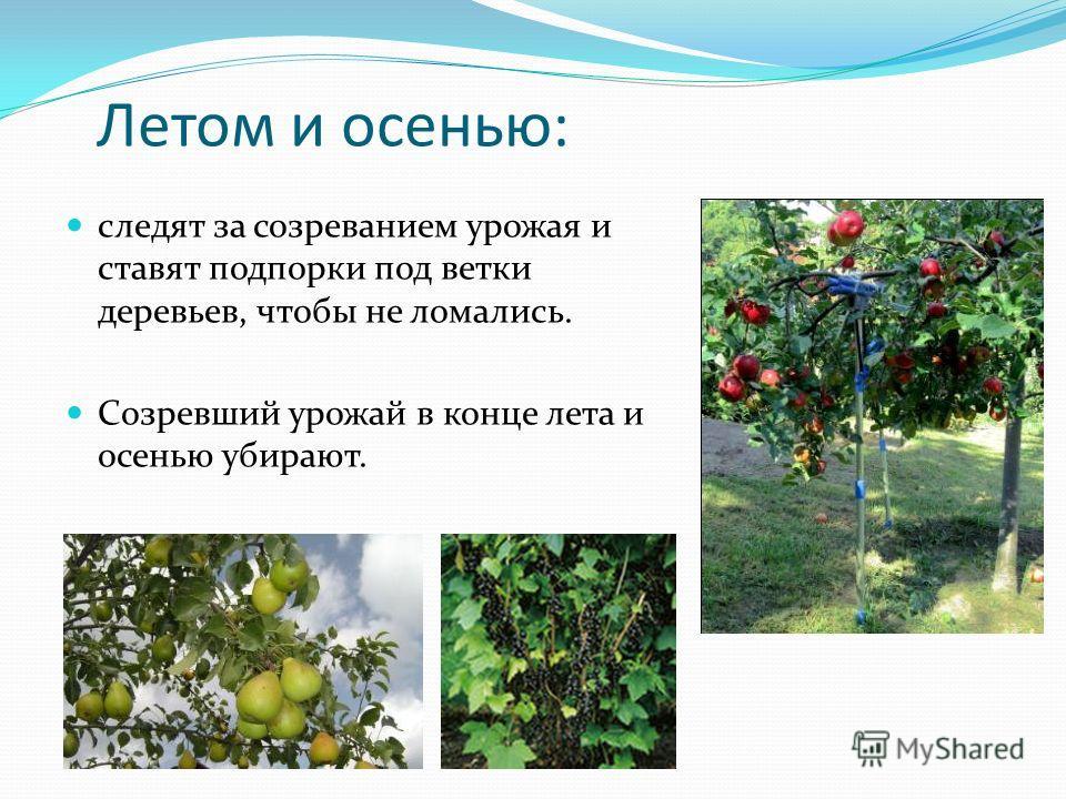 Летом и осенью: следят за созреванием урожая и ставят подпорки под ветки деревьев, чтобы не ломались. Созревший урожай в конце лета и осенью убирают.