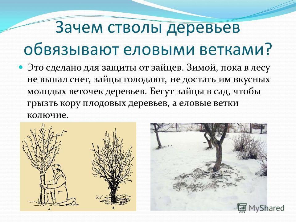 Зачем стволы деревьев обвязывают еловыми ветками? Это сделано для защиты от зайцев. Зимой, пока в лесу не выпал снег, зайцы голодают, не достать им вкусных молодых веточек деревьев. Бегут зайцы в сад, чтобы грызть кору плодовых деревьев, а еловые вет