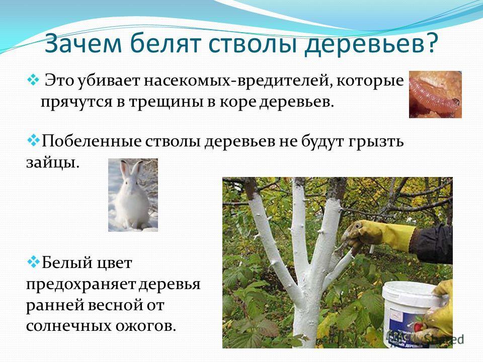 Зачем белят стволы деревьев? Это убивает насекомых-вредителей, которые прячутся в трещины в коре деревьев. Побеленные стволы деревьев не будут грызть зайцы. Белый цвет предохраняет деревья ранней весной от солнечных ожогов.